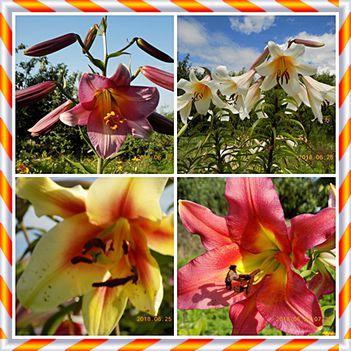 Liliomok a kertünkből
