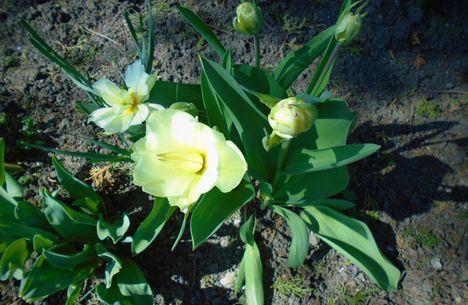 Tulipán 2020 március közepén.