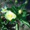 Tulipan_2020_marcius_kozepen_2117451_4002_s