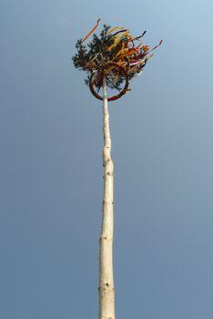 A májusfa