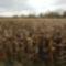 Betakarításra vár a kukorica a Halászi út mentén, 2016. november 30.-án