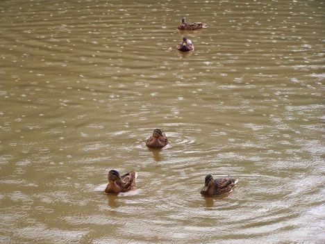Erdély 341  A Gyilkos-tó esőben,kacsákkal