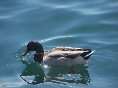 Garda-tó 316   Egy színes kacsa