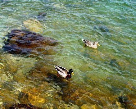 Garda-tó 585  Kacsák a sekély vízben