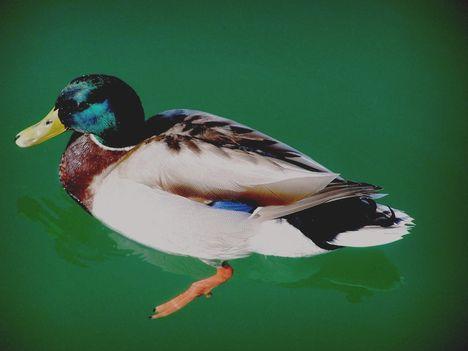Garda-tó  411   Még egy kacsa