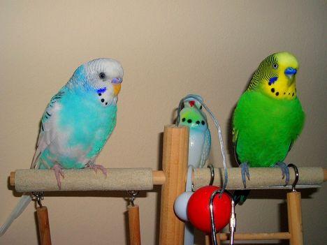 Hullámos papagáj1