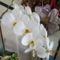 Phalaenopsis_2124955_2203_s