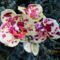 Lepkeorchidea-001_2127775_7258_s