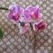 Phalaenopsis hybrid, lepkeorchidea hibrid 1