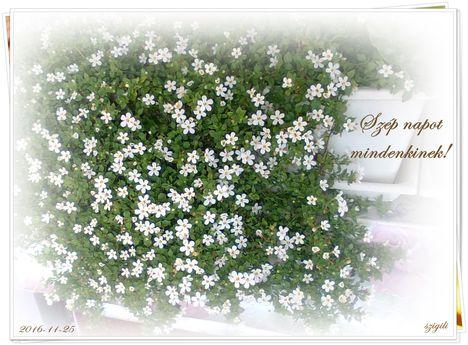 Novemberi csoda! Szebb mint a nyáron volt! Imádni való kis virág!
