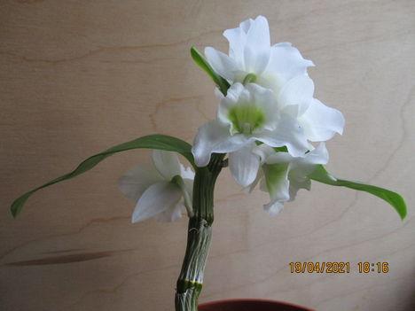 Dendrobium nobile hibrid 1