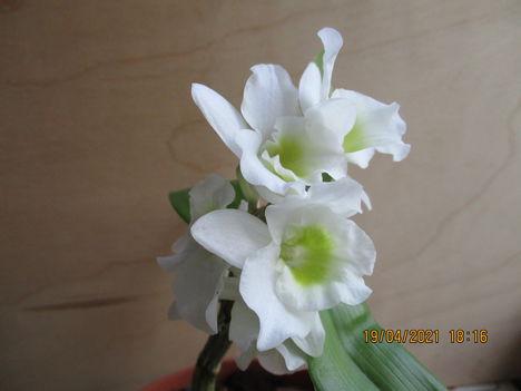 Dendrobium nobile hibrid 2