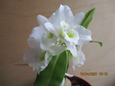 Dendrobium nobile hibrid 3