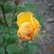 Idei első rózsabimbó
