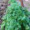 Másodvetésű petrezselyem télre és kora tavaszra.