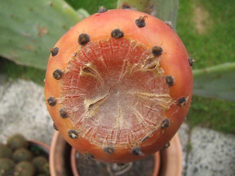 medvetalp kaktusz gyümölcse