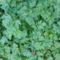 Téli C vitami forrás: petrezselyem zöldje