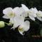 Phalaenopsis_hybrid_lepkeorchidea_hibrid_1-001_2150148_8570_s