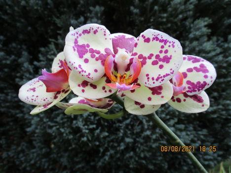 Phalaenopsis hybrid, lepkeorchidea hibrid 2