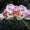 Phalaenopsis_hybrid_lepkeorchidea_hibrid_2-001_2150149_5024_s