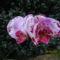 Phalaenopsis_hybrid_lepkeorchidea_hibrid_3_2150150_7530_s