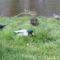 tőkés récék és galambok