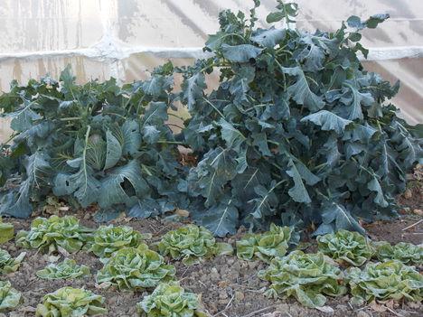 Friss brokkoli télen