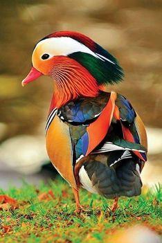 Nagyon szép színes kacsa.