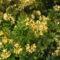 Kám,Rododendron virágzás 008