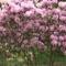 Kám,Rododendron virágzás 009