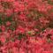 Kám,Rododendron virágzás 010