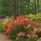 Kám,Rododendron virágzás 011