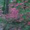 Kám,Rododendron virágzás 034