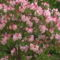 Kám,Rododendron virágzás 044