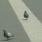 Két kis galamb