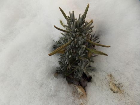 A hóban áttelelő levendula.