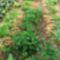 A sárgarépa betakarítása.