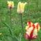 részlet a tulipánokból