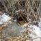 Hód üregéhez vezető lék a nádas szélében rágott léknél, a rágcsálással formázott faágakkal, Kisbodaki Öregszigeti-tó, 2017 február 03 (3)
