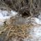 Hód üregéhez vezető lék a nádas szélében rágott léknél, a rágcsálással formázott faágakkal, Kisbodaki Öregszigeti-tó, 2017 február 03 (4)