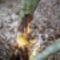Intenzív hódrágás nyomai a Lajta folyó mentén, az éger fa törzsén Hegyeshalom 2017- január 26 (8)