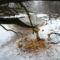 Művészi módon farigcsálnak a fogaikkal a hódok, Szigetköz 2017 február 27 (1)
