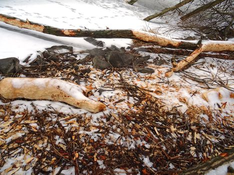 Vizeink jegén rágcsálnak a hódok, Szigetköz 2017 február 03 (8)