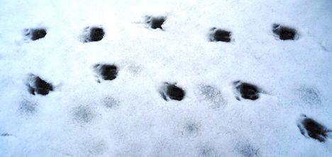Őz lábnyoma a jégre hullott hóban, Szigetköz 2017. február 03.-án