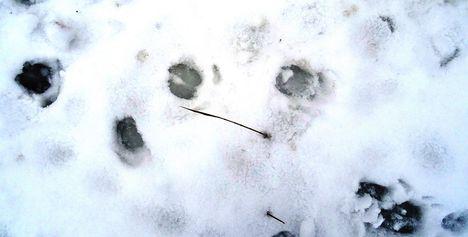 Vaddisznó lábnyoma a jégre hullott hóban, Szigetköz 2017. február 03.-án