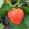 az első gyümölcs