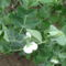 cukorborsó virág