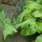erdei páfrány