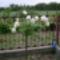 Fehér magastörzsű rózsa