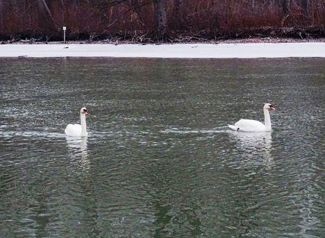 Hattyúk a téli Mosoni-Dunán, 2017. február 10.-én